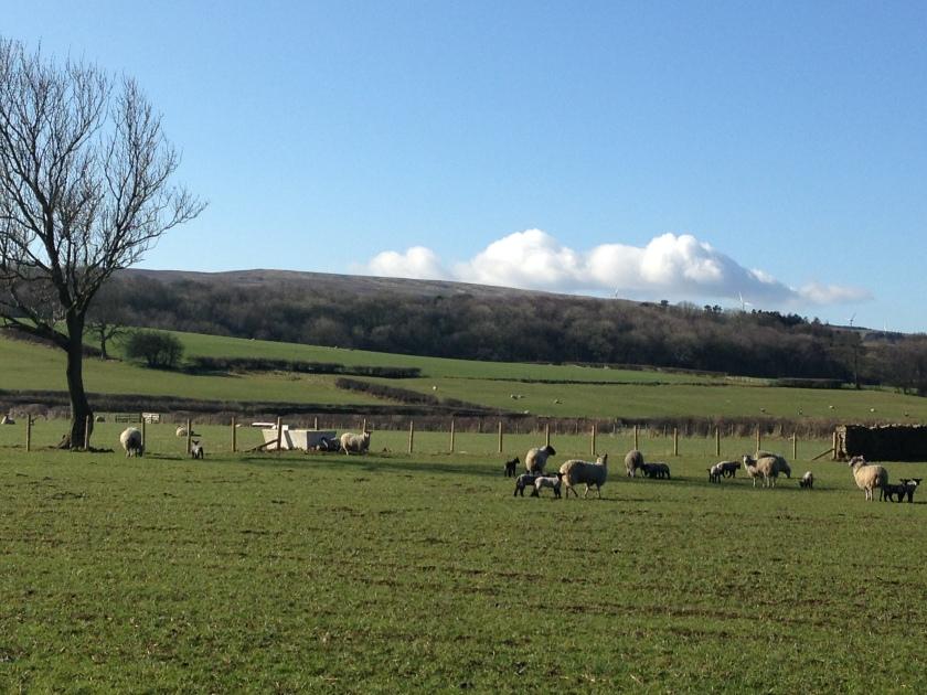 Spring lambs running